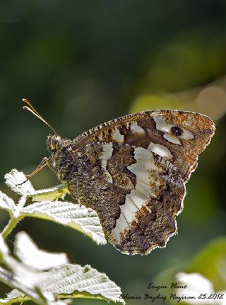 Karamurat (Brintesia  circe)