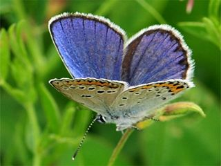Blue butterfly has same number of chromosomes as you do